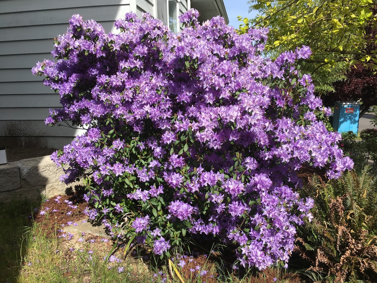 Yard picture: bush with brilliant purple flowers.