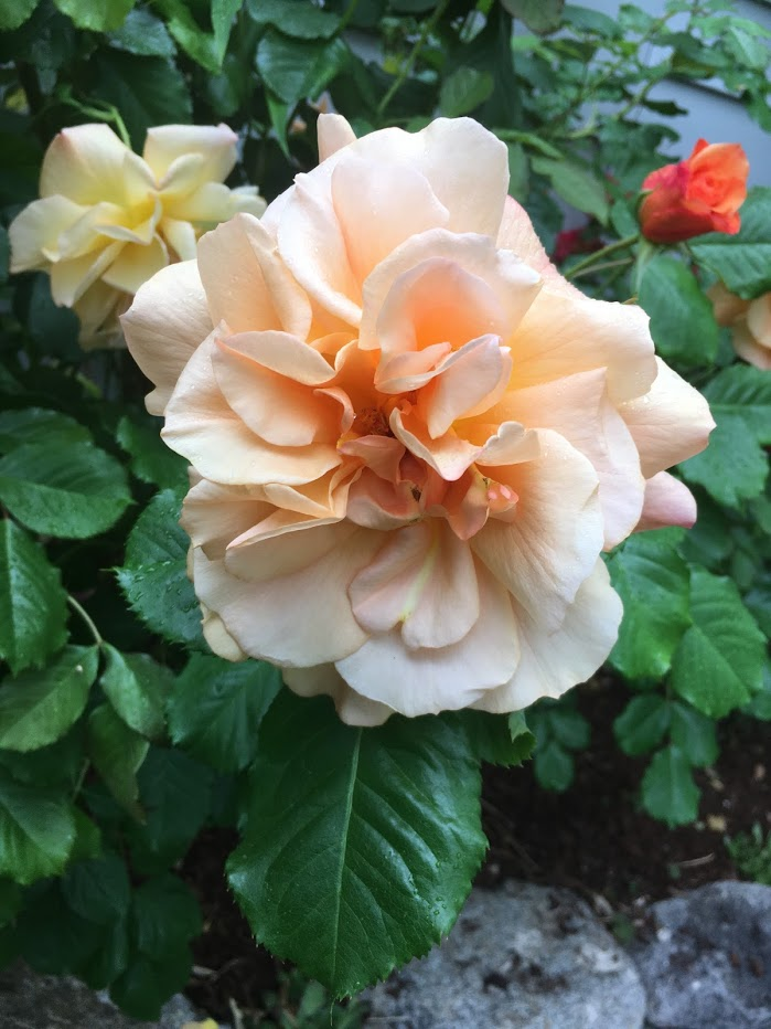 Yard picture: peach rose.