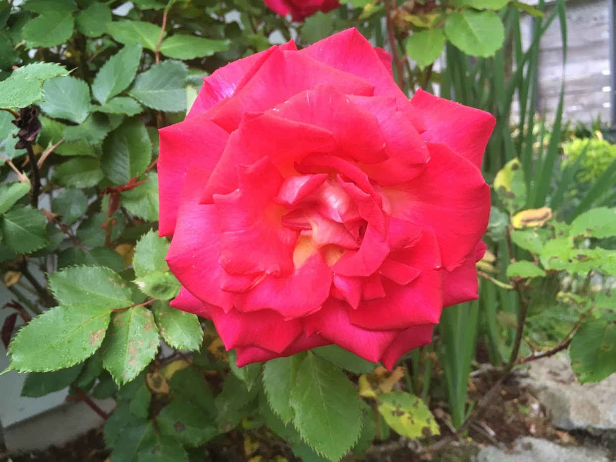 Yard picture: red flower.