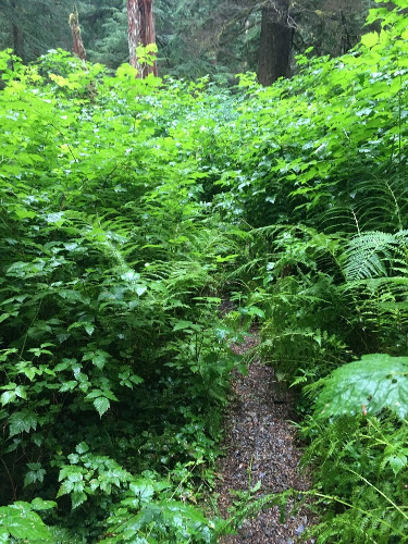 Trail disappears into Salmon Berry Bushes.