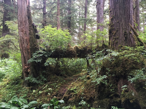Nurse log between two trees.