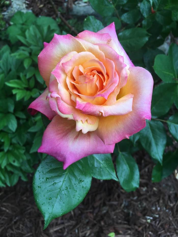 Yard picture: yellow rose edged in pink.