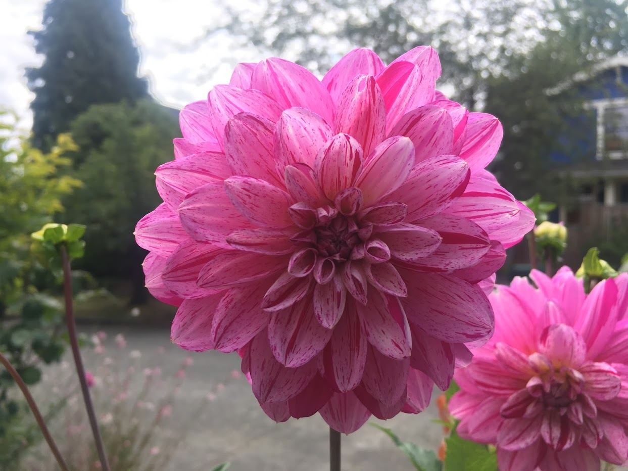 Yard picture: pink flower.