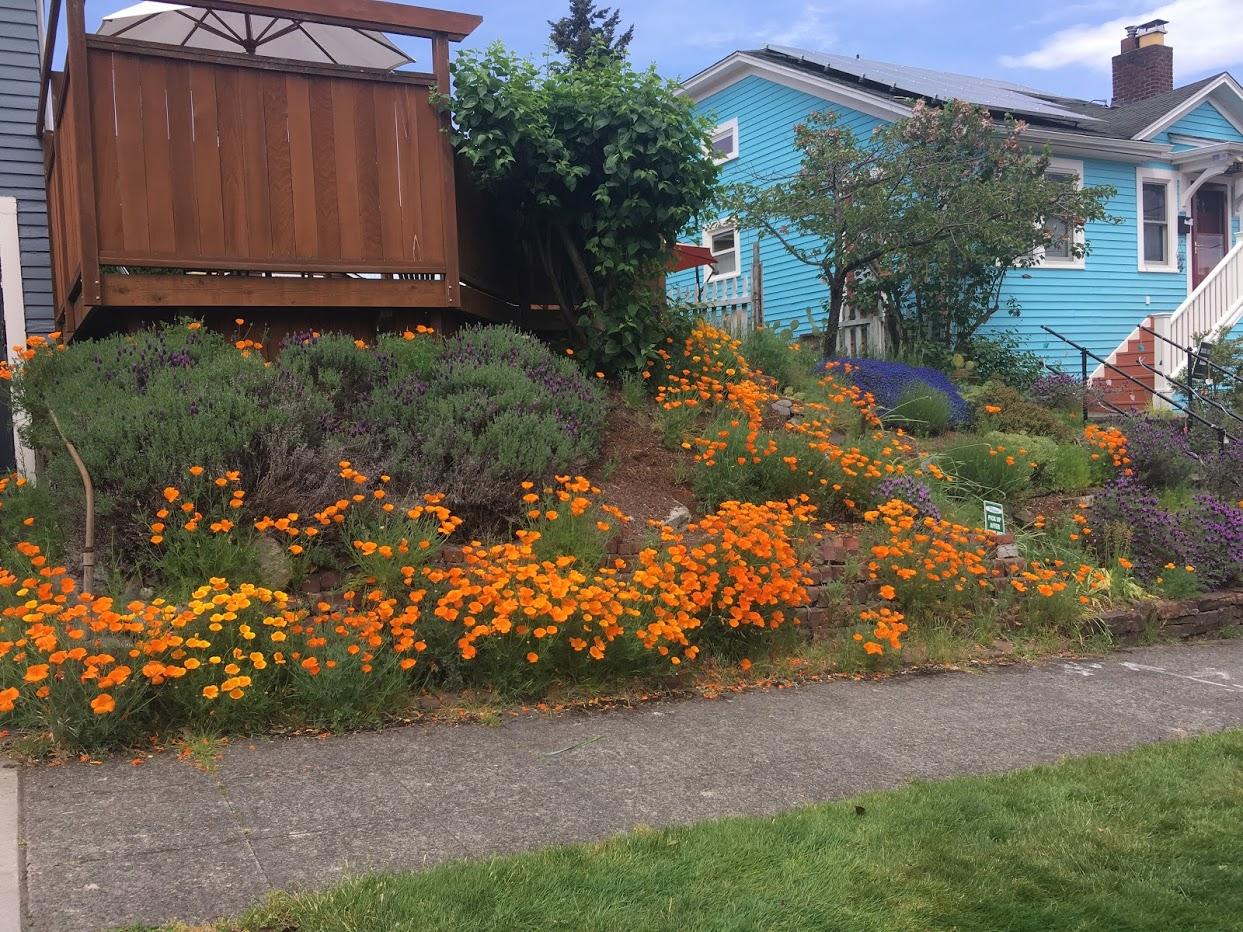 Yard picture: masses of orange California poppies.