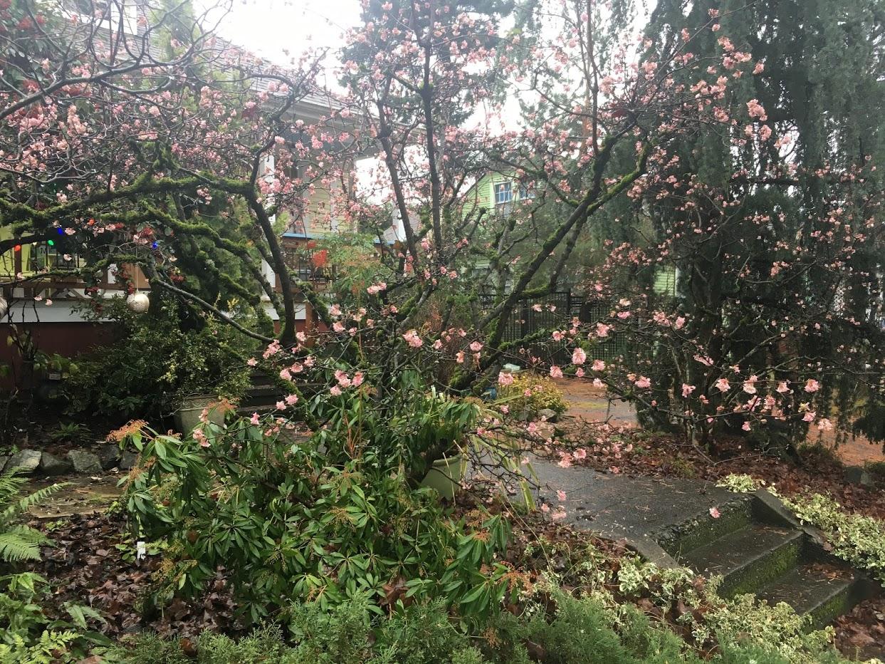 Pink flowering tree.