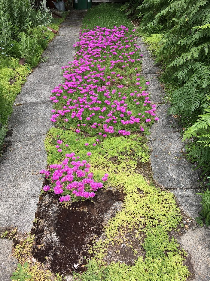 Bright pink flowers in strip in the middle of the driveway.