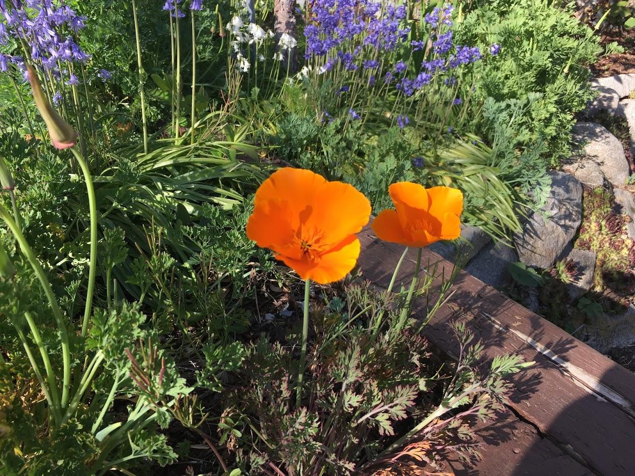 Yard picture orange California poppies.