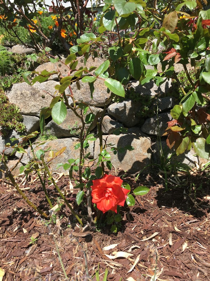 Yard picture: red rose.
