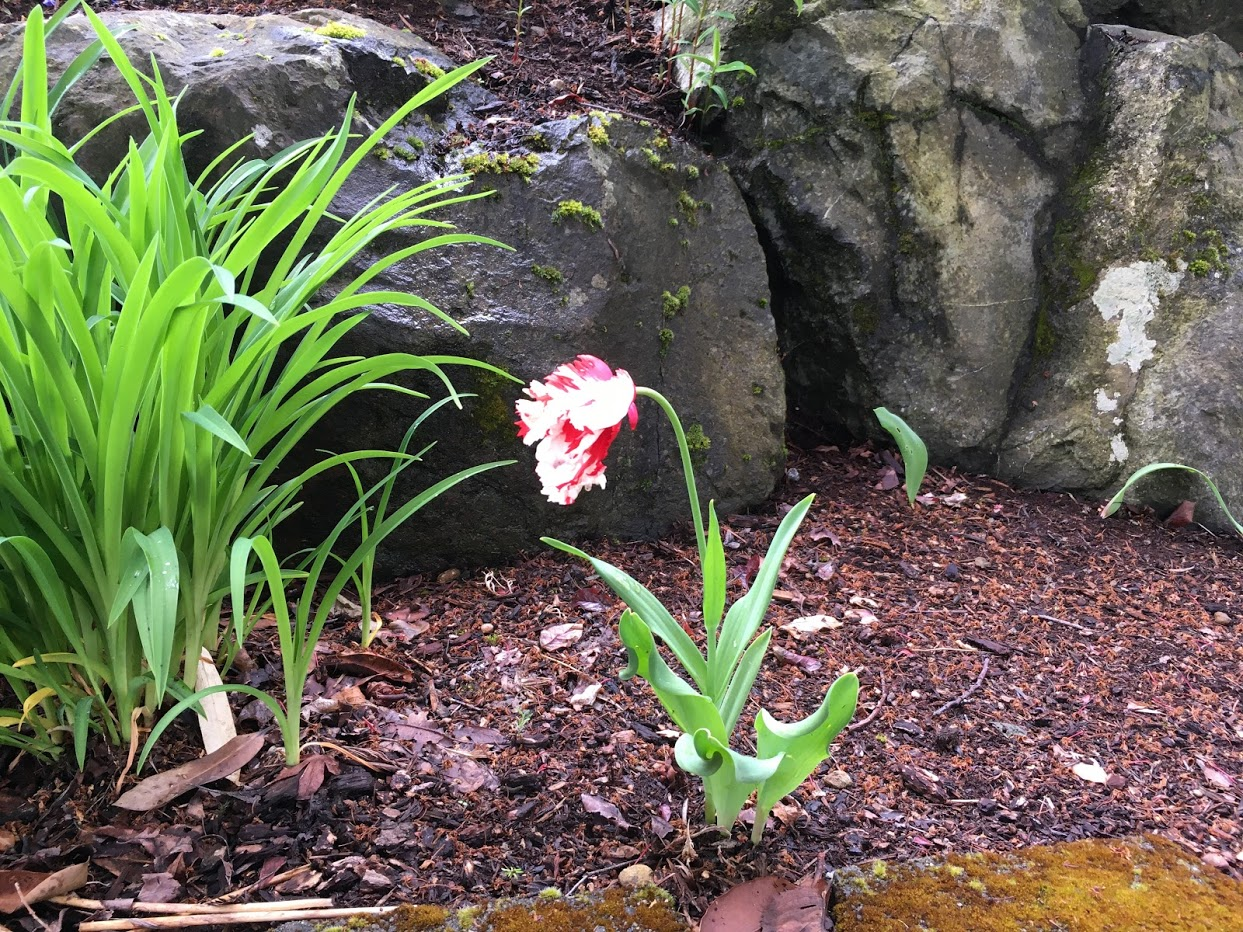 Yard picture: fringed white and red tulip.