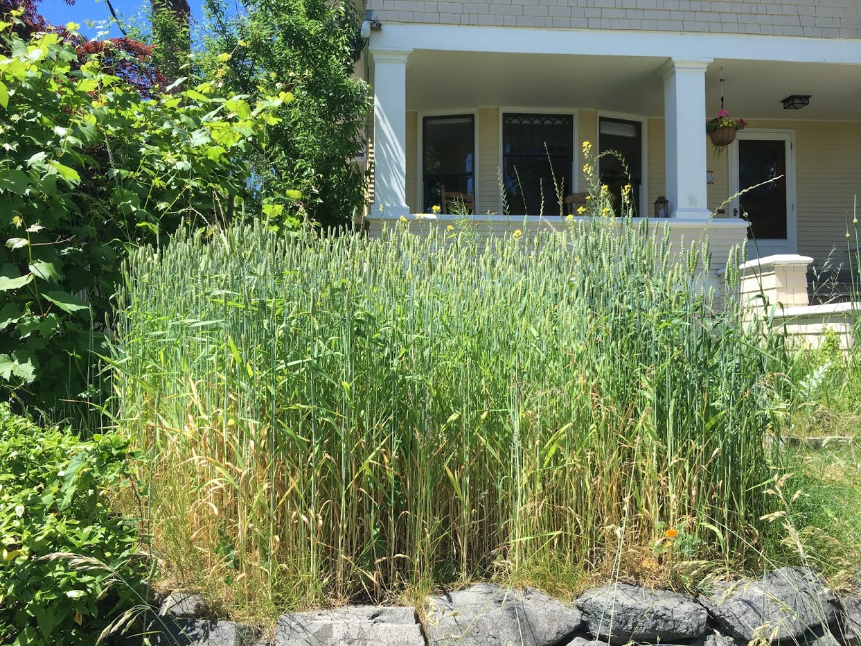 Front yard growing grain (wheat?).