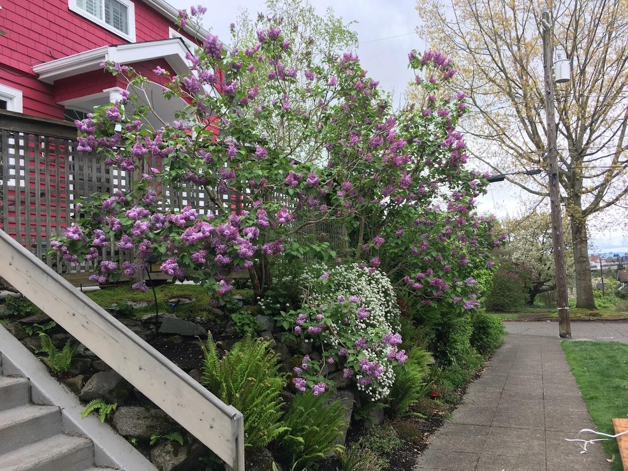 Yard picture: purple Lilac bushes.