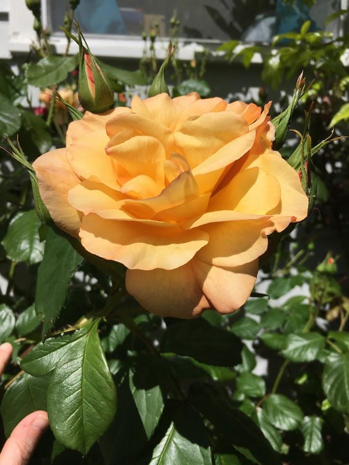 Yard picture: yellowish-orange rose.