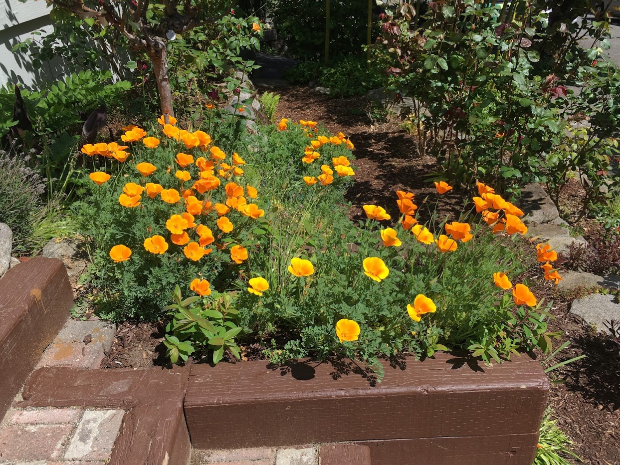 Yard picture: California poppies.