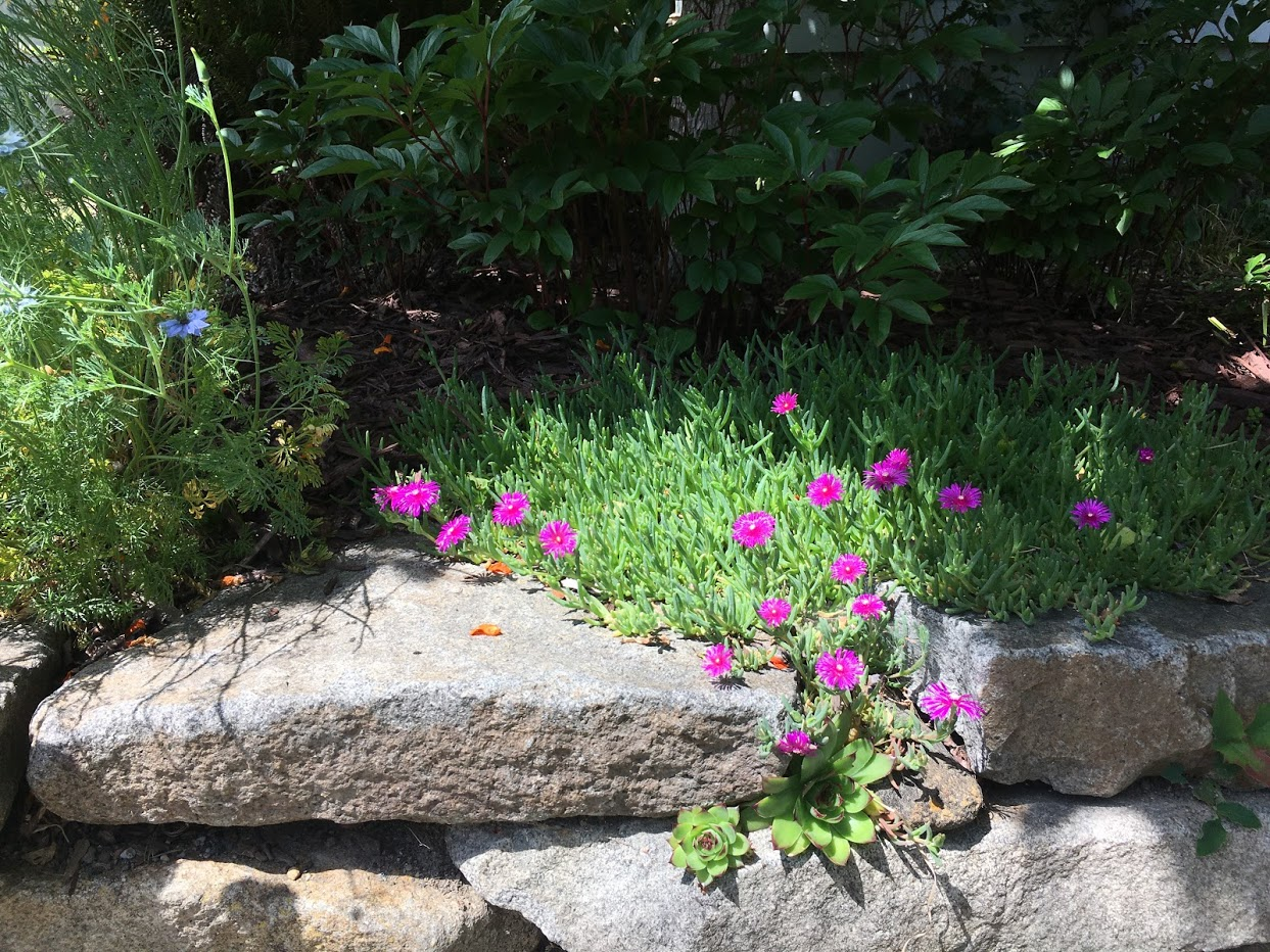 Yard picture: bright pink flowers.