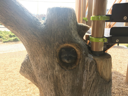 Raccoon peaking from tree trunk.