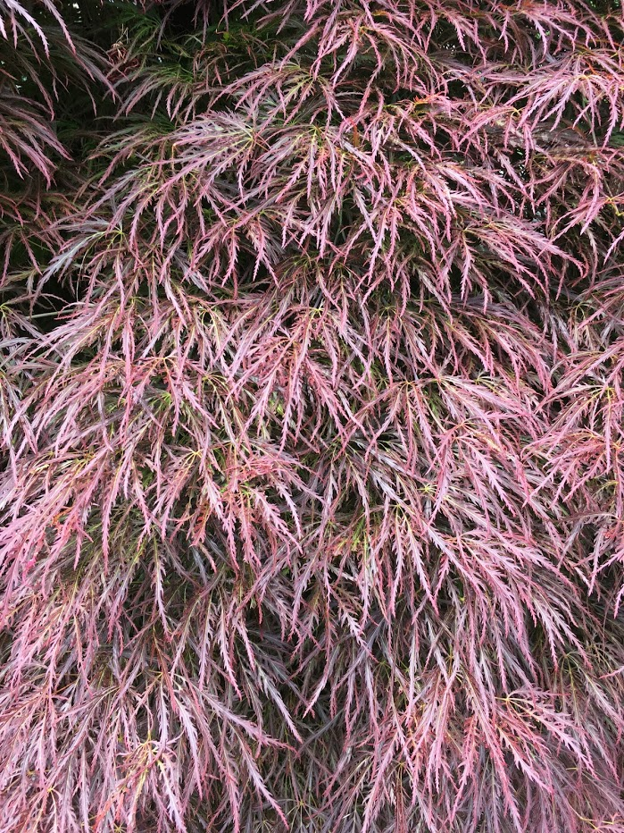 Yard picture: tree with fine purpleish leaves.