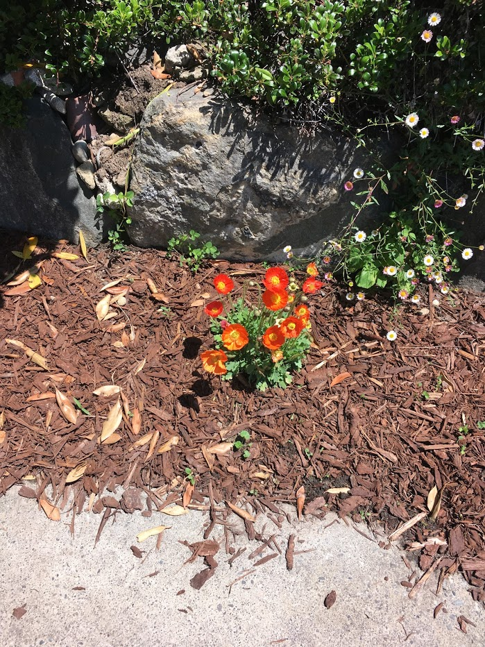 Yard picture: orange flowers with yellow centers.