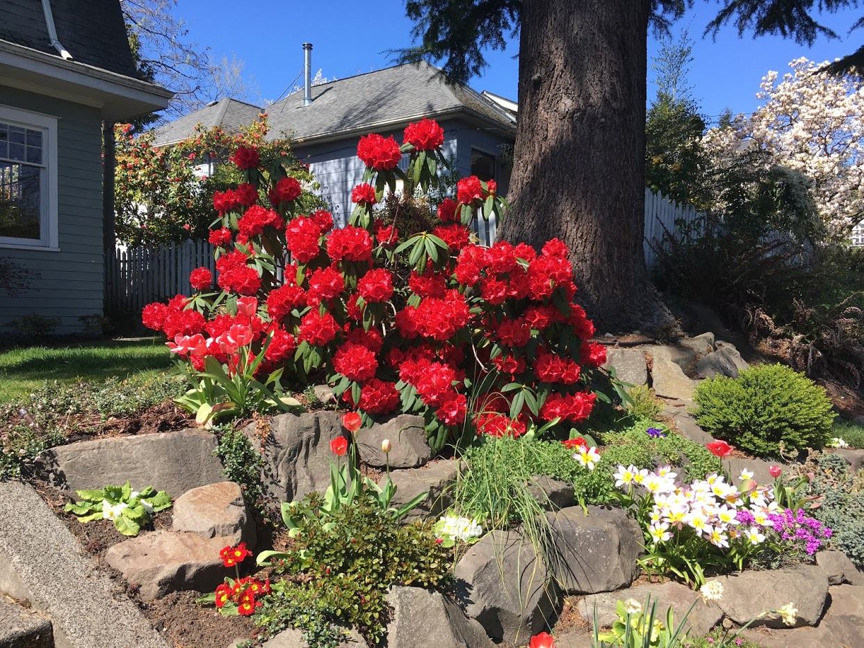 Yard picture: brilliant red rhododendron bush.