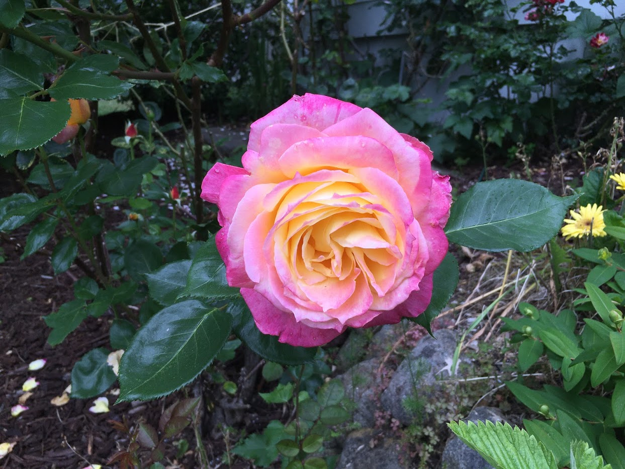 Yard picture: pink rose with a yellow center.
