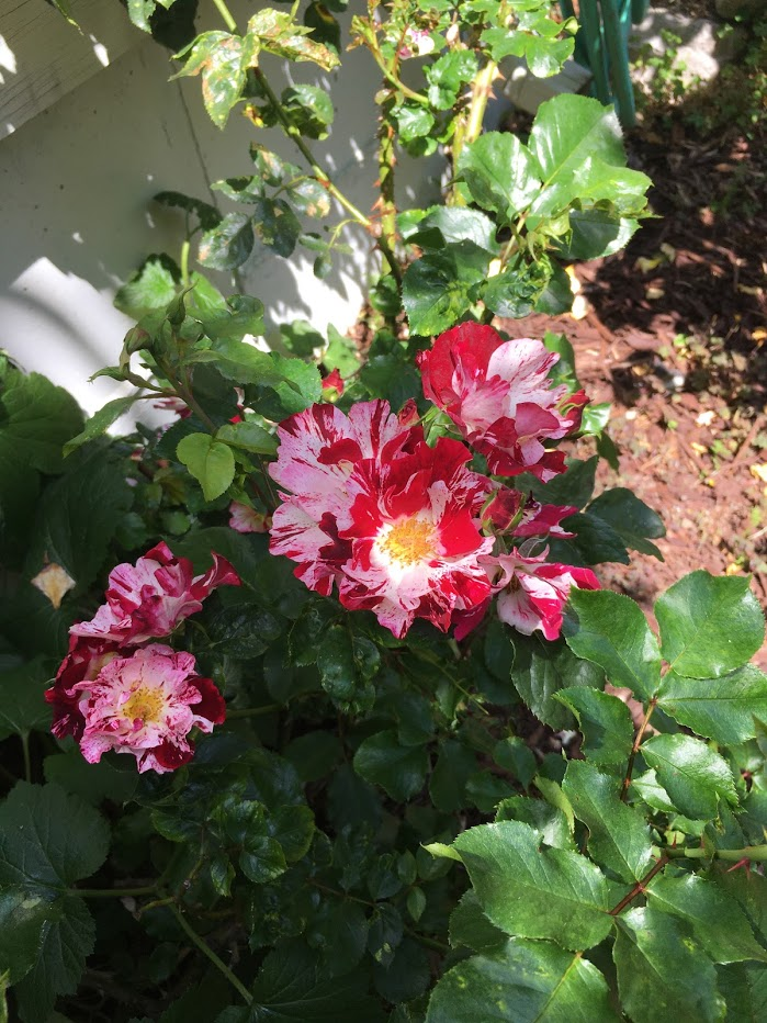 Yard picture: multi-colored small roses that are pink, red, and white.