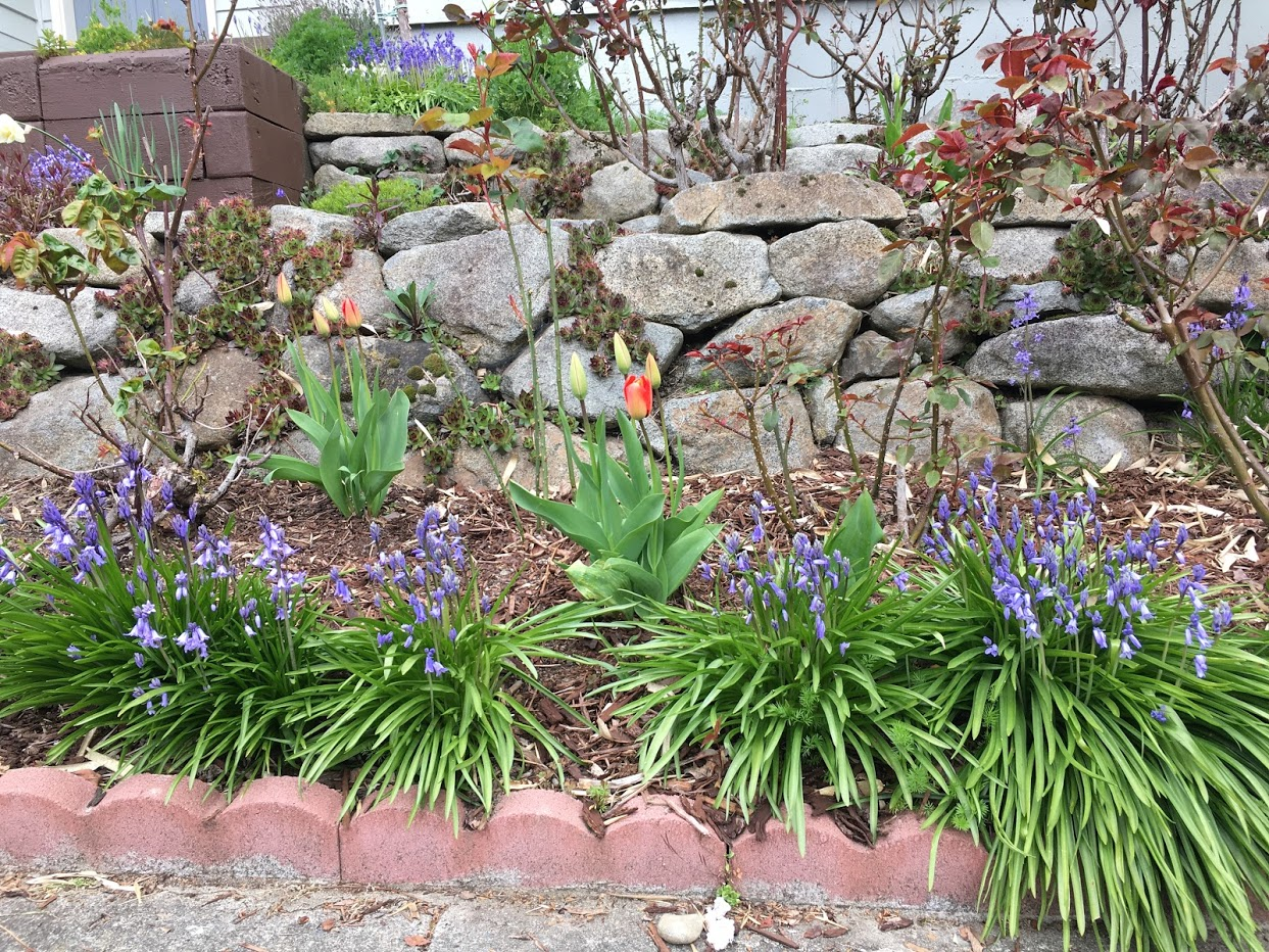 Front Yard: Red tulips just starting to open surrounded by purple flowers.