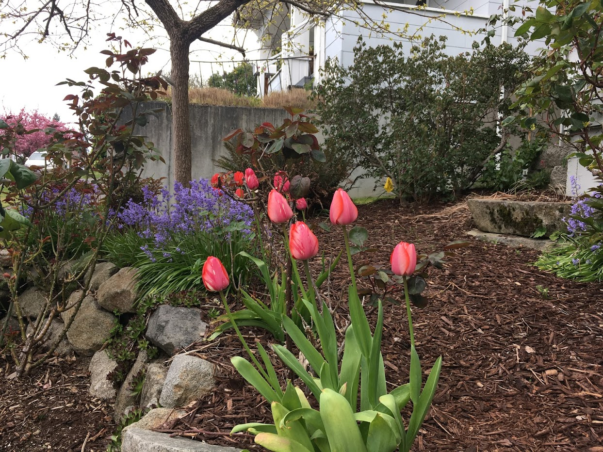 Yard picture: Red tulips.
