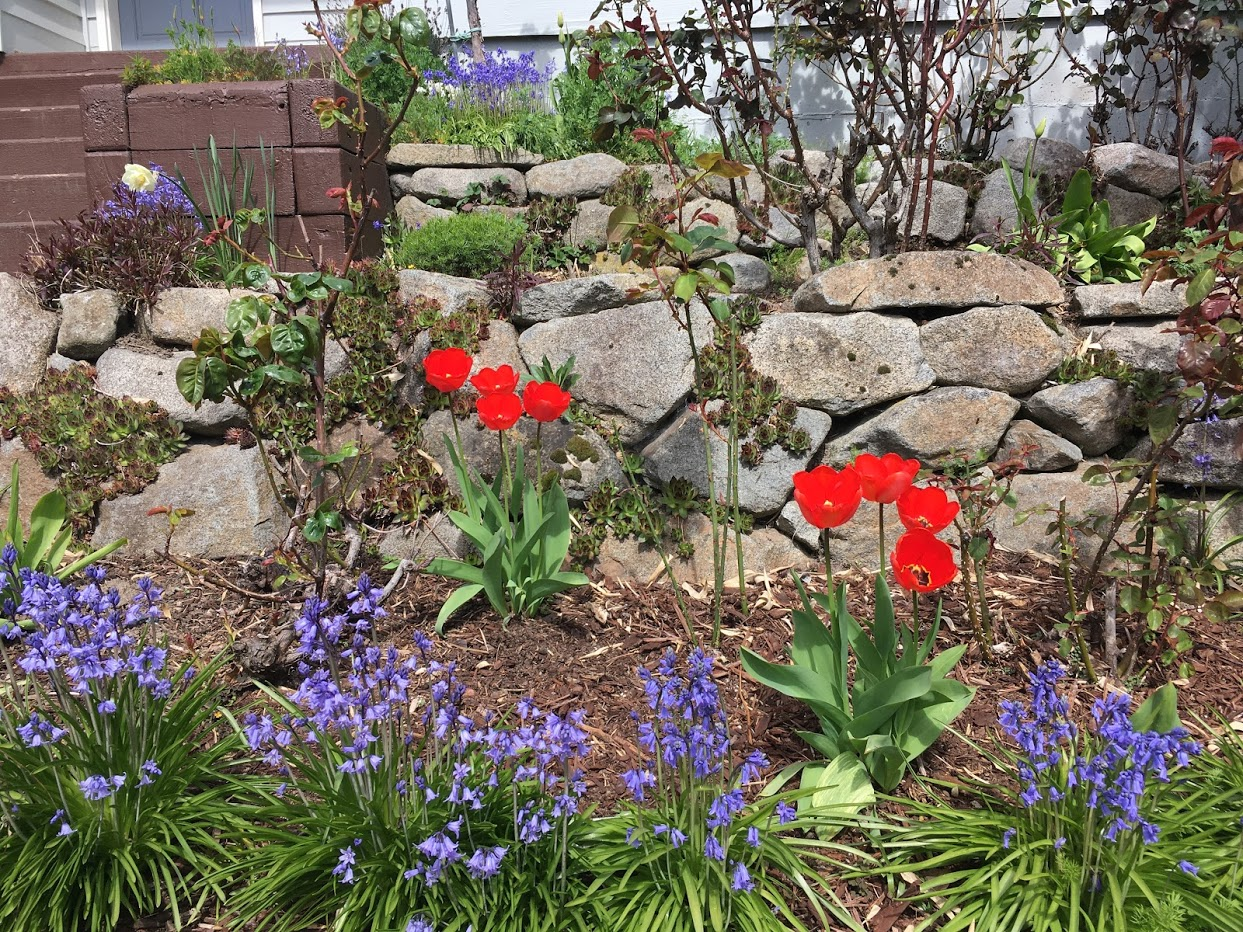Yard picture: red tulips surrounded by purple flowers.