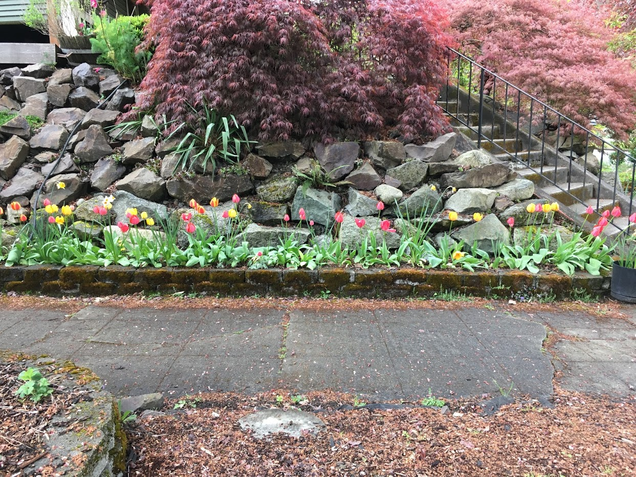 Yard picture: red and yellow tulips.