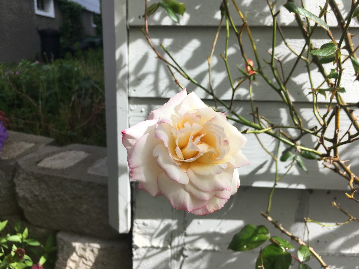 Yard picture: White rose with pink edge.