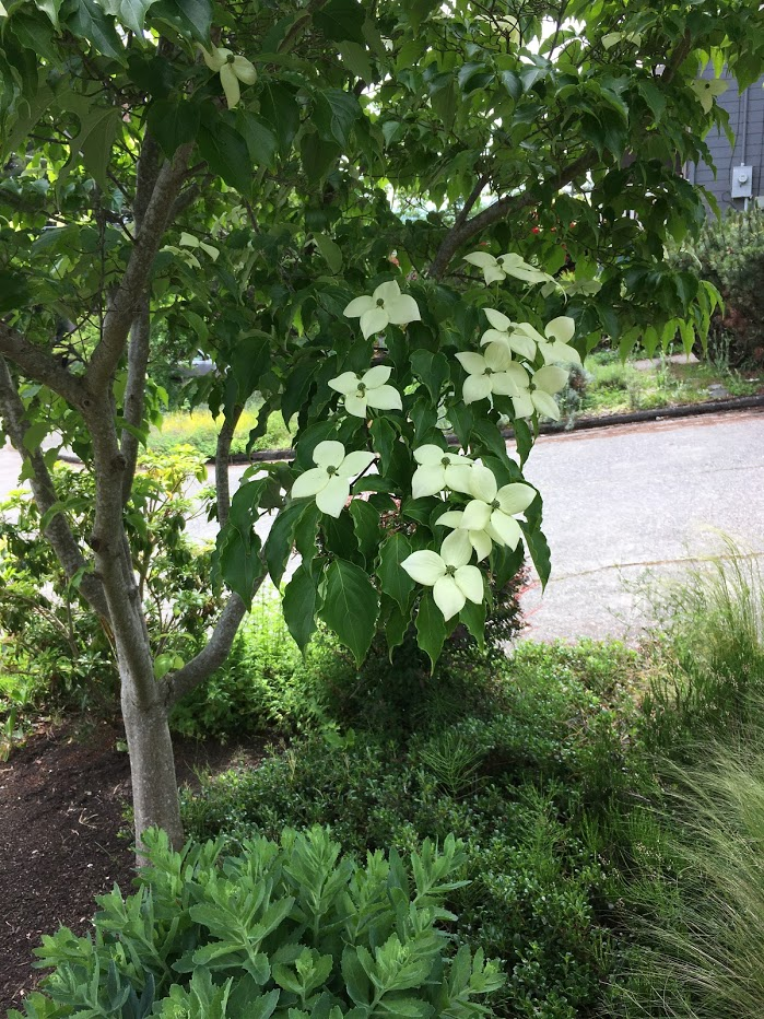 Yard picture: White flowers on tree.