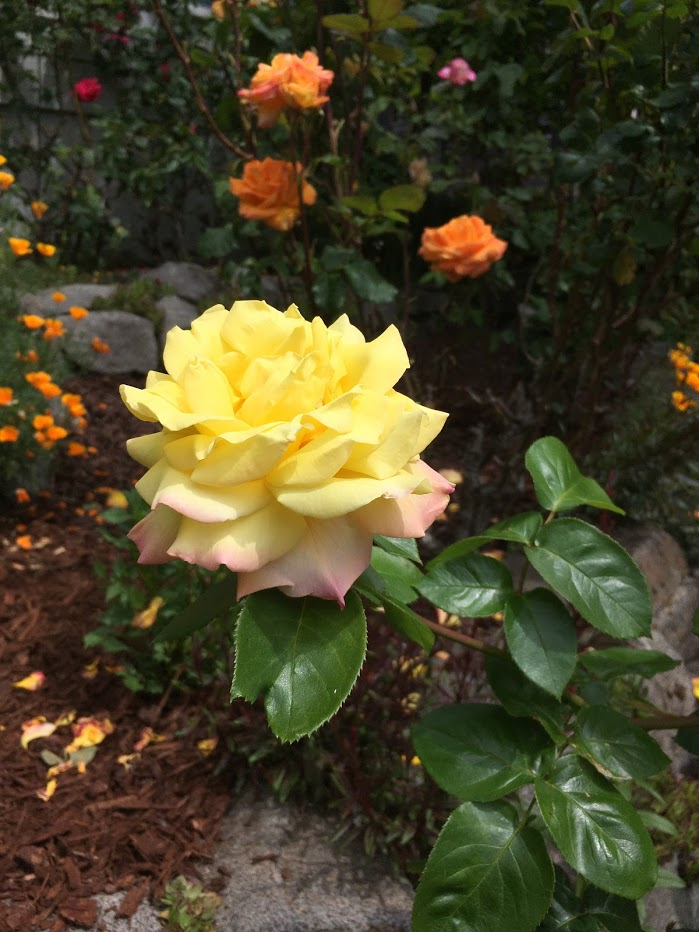 Yard picture: Yellow rose tinged with pink.