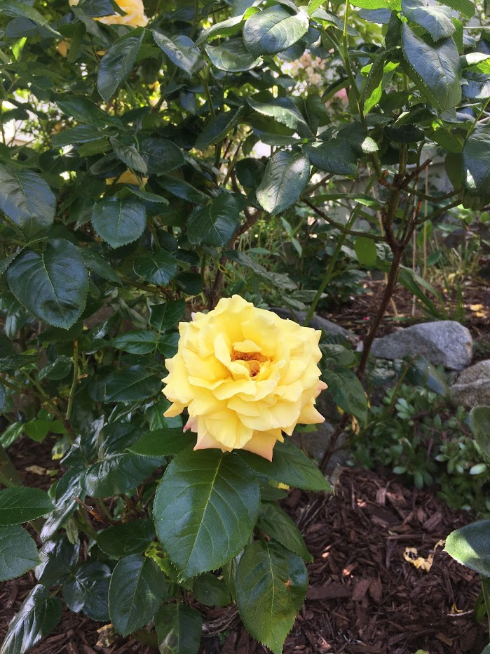 Yard picture: Yellow rose.